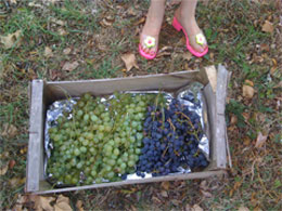 grapes_shoes