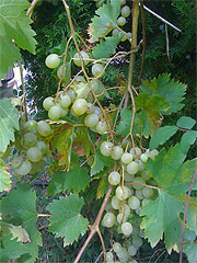 white_grapes